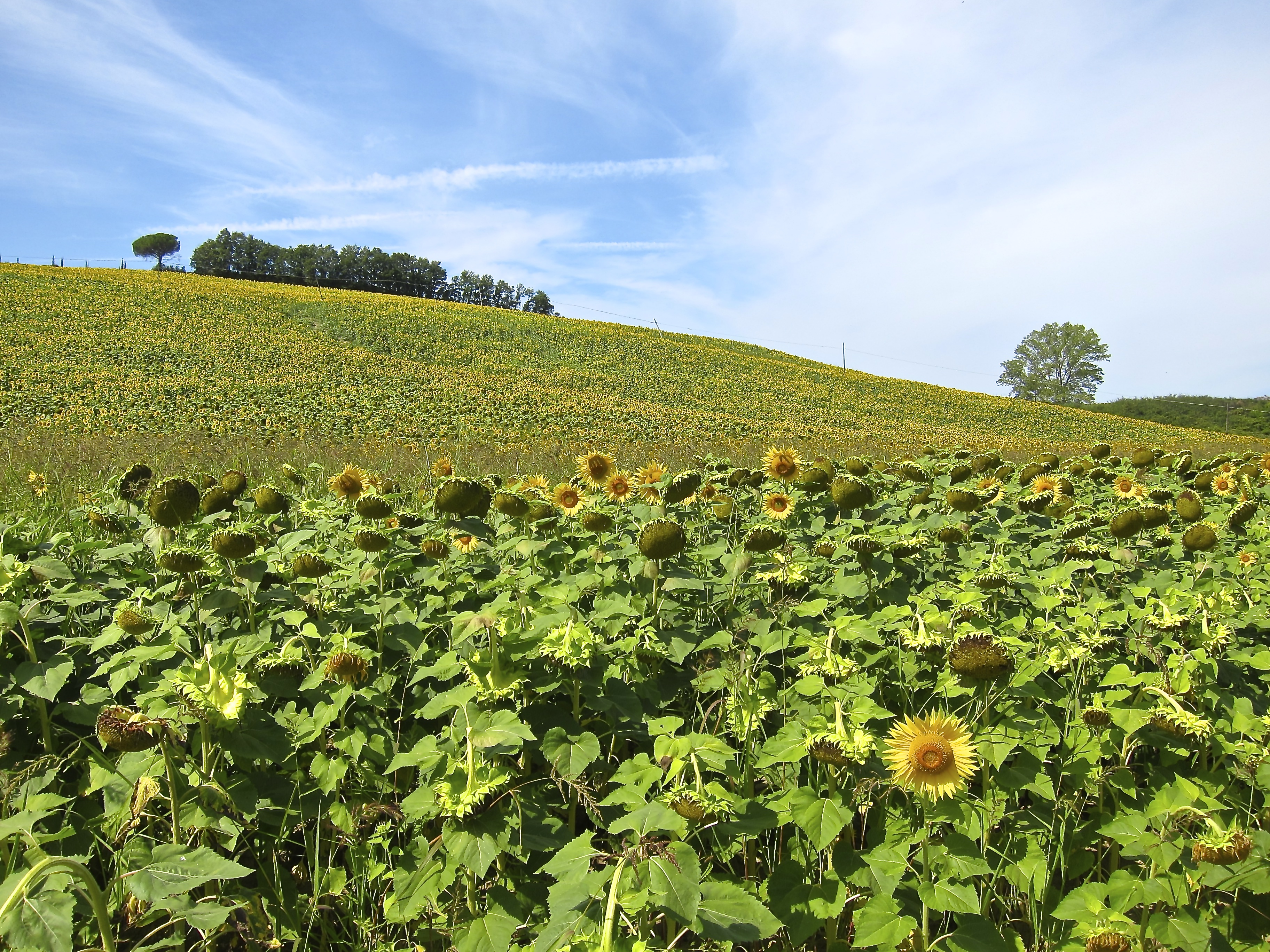 Sunflowers in Tuscany Bike tour