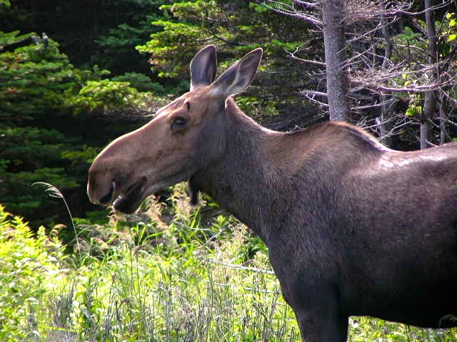 newfoundland bike tour moose